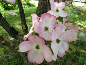 image of dogwood blossoms open on branch